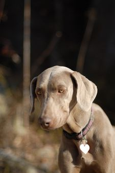 Free Weimaraner Puppy Stock Photography - 2905172