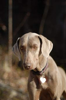 Free Weimaraner Puppy Royalty Free Stock Image - 2905176