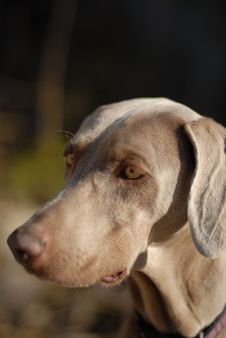 Free Weimaraner Puppy Stock Image - 2905181