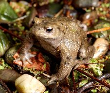 Free Toad Royalty Free Stock Images - 2905389