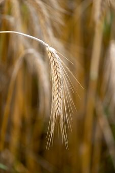 Free Grain Ears Stock Photos - 2905393