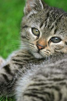 Free Sweet Kitten Royalty Free Stock Image - 2906176