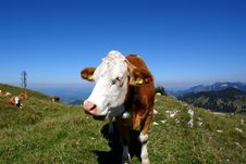 Free Young Bull On The Peak Royalty Free Stock Photography - 2906237