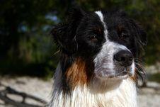Free Black-tri Australian Shepherd Stock Photos - 2907083