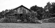 Free Vine And Leaf Covered Barn B/W Royalty Free Stock Photography - 2908057