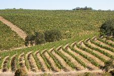 Free Vineyard In California Royalty Free Stock Photo - 2908735
