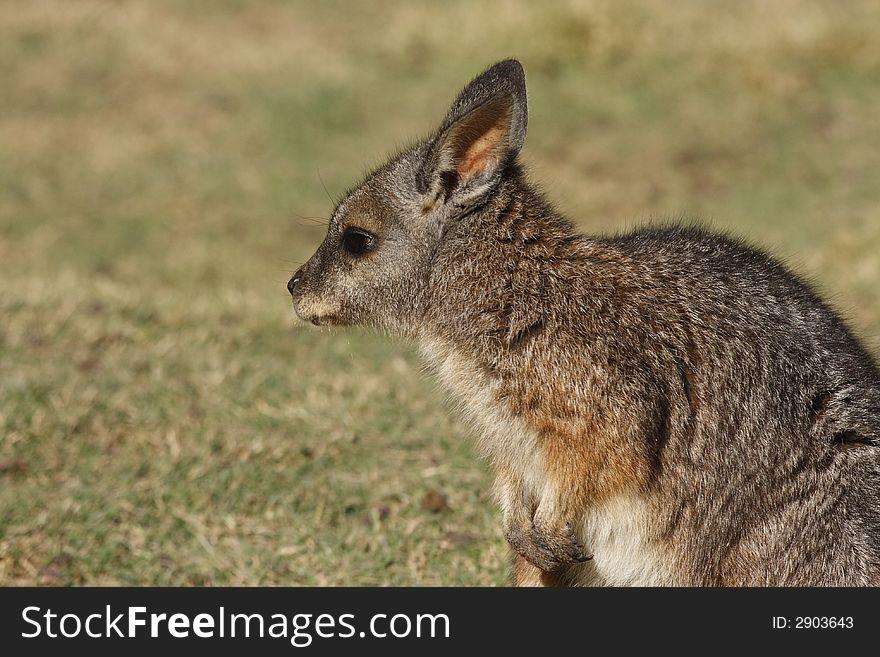 Wallaby profile