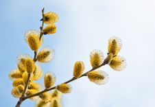 Free Easter Willow Branches Royalty Free Stock Image - 29009896
