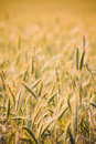 Free Golden Barley Ears Royalty Free Stock Image - 29012306