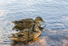 Free Couple Of Duck In Water Stock Photo - 29012380