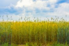Free Wheat Royalty Free Stock Images - 29013699