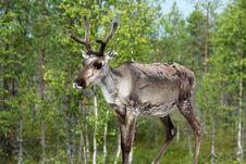 Free Reindeer In Norway Royalty Free Stock Photos - 29015258