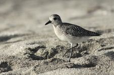 Free Black-bellied Plover Royalty Free Stock Image - 29016176