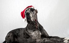Free Grey Marble Great Dane With A Cap Of Santa Claus Stock Photos - 29016483