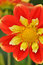 Free Orange And Yellow Dahlia Flower Stock Images - 29017134
