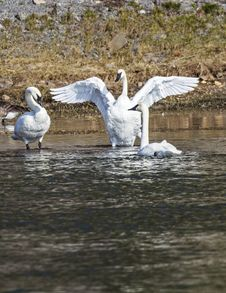 Free Trumpeter Swans Royalty Free Stock Image - 29021046