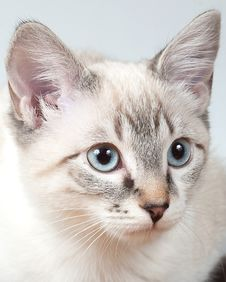 Free Lynx Point Siamese Kitten Stock Photography - 29021502