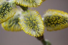 Free Pussy Willow Have Blossomed Stock Photos - 29022673