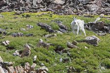 Free Rocky Mountain Goat Royalty Free Stock Photos - 29029348
