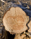 Free Fresh Cut Pine Log Royalty Free Stock Photo - 29038595