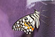 Free Lime Butterfly &x28;Papilio Demoleus Malayanus&x29; Stock Images - 29030444