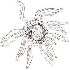 BW Sunflower Sketch Stock Photos