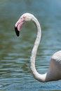 Free Flamingo Head Stock Photo - 29046790