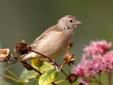 Free Chaffinch On Flowers Stock Photo - 29042810