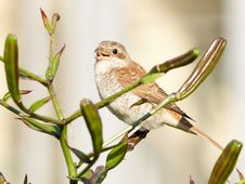 Free Shrike On Lily Bush Royalty Free Stock Photography - 29043067