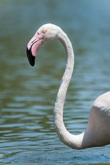 Free Flamingo Head Stock Photo - 29046790