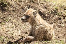 Free Hyena Royalty Free Stock Image - 29050576