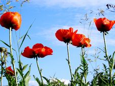 Free Red Poppies Stock Photos - 29057593