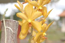 Free Golden Orchids Royalty Free Stock Images - 29058029