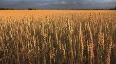 Free Field Of Ripe Wheat. Stock Image - 29059191