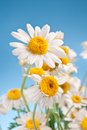 Free Wild Camomiles On A Blue Sky. Royalty Free Stock Photo - 29064365