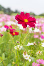 Free Red Cosmos Flowers Royalty Free Stock Photography - 29066067