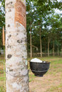 Free Tapping Latex From Rubber Tree Royalty Free Stock Photo - 29067105