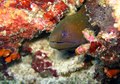 Free Moray Eel Stock Image - 29069781