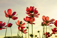 Free Red Cosmos Flowers Stock Images - 29065994