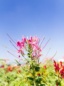 Free Cleome Spinosa Linn Or  Spider Flower Royalty Free Stock Images - 29066739