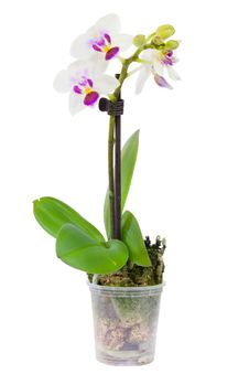 Free Blossoming Plant Of Small Orchid Royalty Free Stock Photography - 29066937