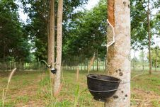 Free Tapping Latex From Rubber Tree Royalty Free Stock Image - 29067006