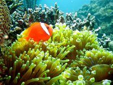 Free Anemonefish Stock Photography - 29067562
