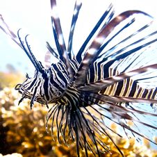 Free Zebra Lion Fish Stock Photo - 29067580