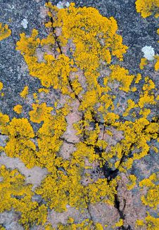 Free Yellow Lichen Royalty Free Stock Photography - 29068867