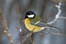 Free Great Tit Stock Image - 29069631
