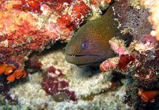Moray Eel Stock Image