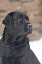 Free Black Labrador Portrait Royalty Free Stock Photos - 29073478