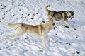 Free Two Husky Dogs Running Stock Photos - 29073733