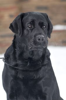 Free Black Labrador Portrait Outdoor Stock Photography - 29073572